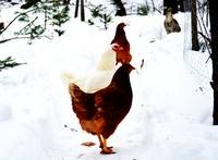 Snow Chickens
