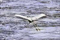 The Mersey Heron