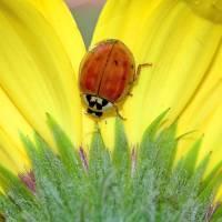 Ladybird Beetle a Ladybug II by Laura Mountainspring