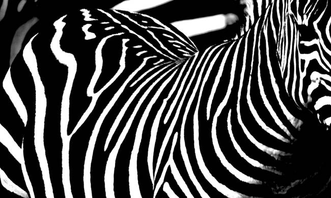 black and white zebra stripes. Black amp; White Zebra stripes 1
