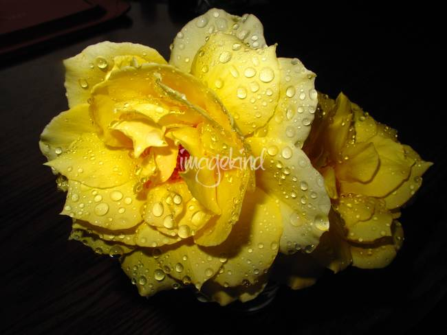 Rain Soaked Yellow Rose