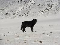 Lone Black Wolf in Yellowstone