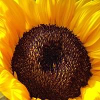 sunflower Square by Kristen Stein