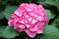 Bright Pink Hydrangea by Kristen Stein