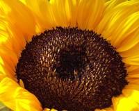 Sunflower by Kristen Stein