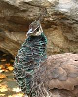 Pretty Little Peahen