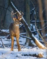 Deer in a Sunbeam by Daniel Teetor
