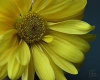 Yellow Daisy 07