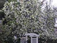 White Blossoming Arbor by K. Yaude