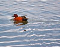 Cinnamon Teal Duck