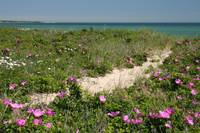 Beach Path through Rosa Rugosa