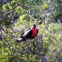 Male Frigate Bird Art Prints & Posters by KatieJacobson-Lang