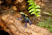 blue and yellow frog