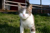 Cattle Farm Kitty