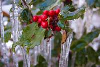 Holly Berry on Ice