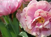 Parrot Tulips by Kristen Stein