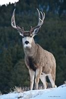 Mule Deer Buck in Wyoming verticle view