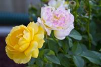Yellow and Pink Double Knockout Roses