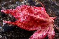 Red Leaf and Frost