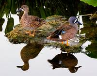 Blue Wing Teal Pair