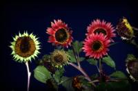 Dusk Sunflowers