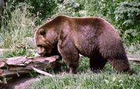 Brown Bear Looking for Grubs