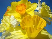 Colorful Bright Yellow Daffodil Flowers Basleee