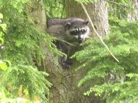 Backyard Raccoon