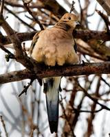 Mourning Dove up in a Tree.
