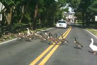 Ducks Crossing Afton