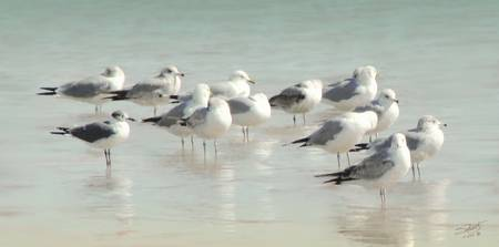 Gulls Wading in the Gulf