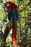 Red Blue Yellow Parrot