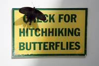 Hitchhiking Butterflies