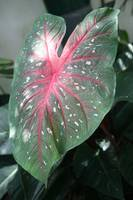 Red Veined Leaf