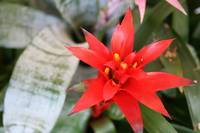 Red Bromeliad Flower