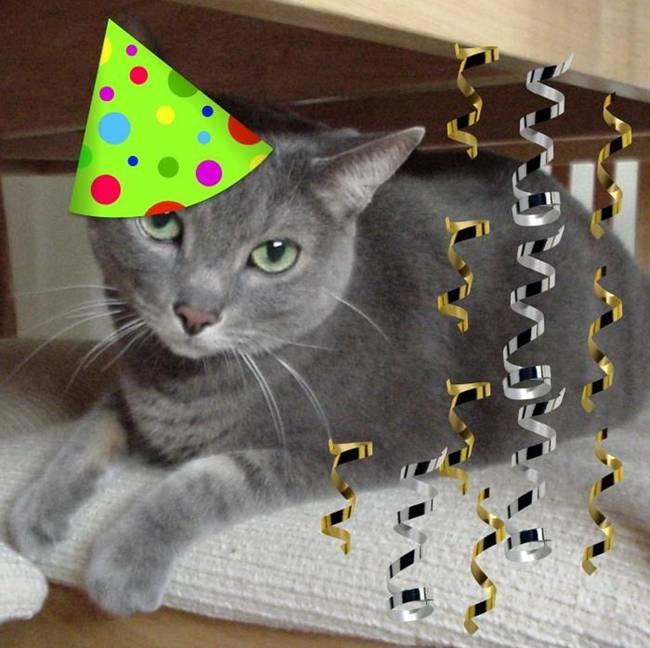 ragdoll cat adoption nyc