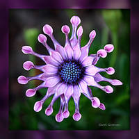 African Daisy HDR by Carol Groenen