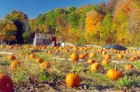 Pumpkin Patch, New England Autumn
