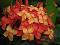 orange-red multi-flower