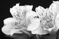 Peruvian Lilies Botanical Black and White Print