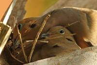 Mourning Dove Couple #2