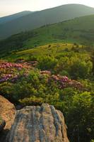 Roan Mountain from Jane Bald  Rhododendron Dusk Li