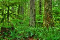 Rainforest Cathedral Grove Tree MacMillan Provinci