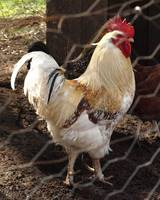 Big Guy the Rooster