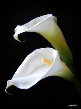 Elegant Calla Lily Flowers 4 by Christopher Johnson