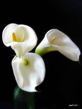 Elegant Calla Lily Flowers 6 by Christopher Johnson