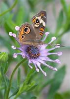 Butterfly on African Daisy by Carol Groenen
