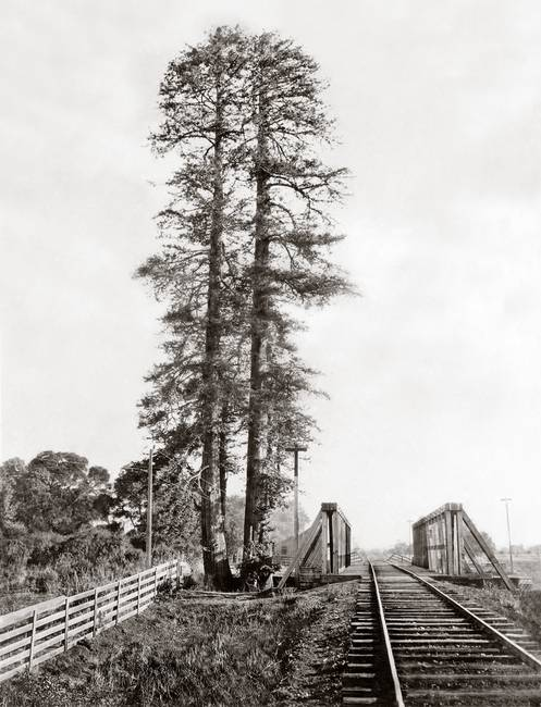 Palo Alto Tall Tree, Watkins c1880