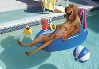 Pool Dog Bloodhound
