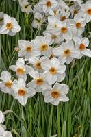White Narcissus